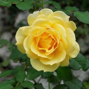 薔薇の秋色が冴えてきました♡ 人よりも犬の方が有名らしい@@ 匂いたつクチュール・ローズ・チリア