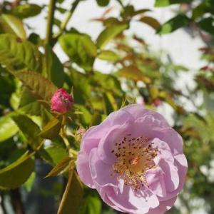 選挙カーに呼びかけられながら撮った「モチーフ」 挿し木っ子2度目の鉢増し 遊ぶように咲く「普賢様の薔薇」