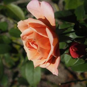秋の開花を待っていたラヴェンダー・ピノキオ クリスマスローズの今 植物と会話するように育ててあげたい