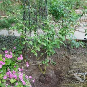 夜中の10時に挿し木@@ 薔薇の植え替え、鉢薔薇の土替え、少しずつ始めました ミルフィーユとエール