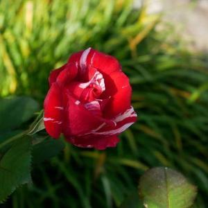 山庭ピーチヒルにイノシシ現る@@ センチメンタルの朝夕 もうすぐ咲きそうリベルラ まだあるお迎え苗♡