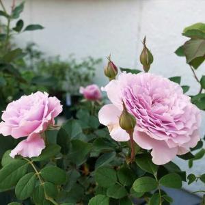 夫のリベルラ咲く 薔薇を始めた頃は嫌いだった、鉢薔薇の土替え クロード・モネ本領発揮♡
