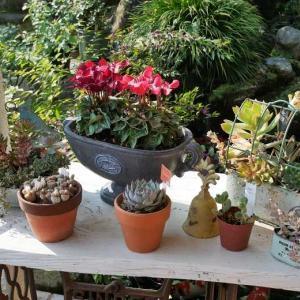 玄関で花盛り スイート・ジュリエットとラヴソング ストックにパンジーにシクラメン 寄せ植え色々