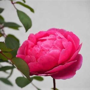 今日の薔薇はジョン・クレア 3割引きセールで買っちゃいました^^ 縁側もお花でいっぱいに