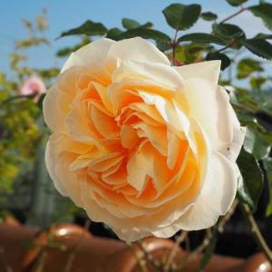 寒さに負けずシャルダン・ドゥ・レソンヌ♡ リフレッシュさせた寄せ植え ビオラってどうしたこんなに可愛いんでしょうね~^^