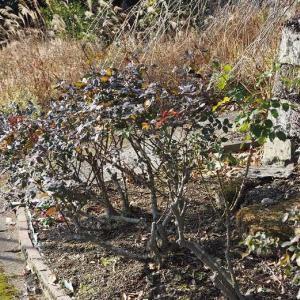 地植えのブッシュローズの剪定を始めました  鮮やかな色が綺麗ボルデュール・アブリコ♡