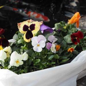 袋いっぱいに入ったパンジーとビオラ♡ 一重のお花が綺麗なパルフェ・タムール