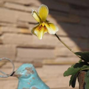 草取り中のスカスカ花壇  恋しいラベンダー・ラッシー