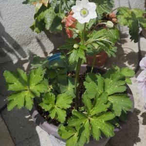 アネモネ・ラズワルドブルーの神秘的なお花 雑貨が半額で、県内産の花苗を買うと500円の割引でした