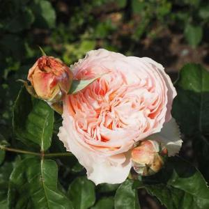 薔薇で飾った玄関 素晴らしい色合いになったブルー・ムーン・ストーン ジュリエット ジャルダン・ドゥ・レソンヌ