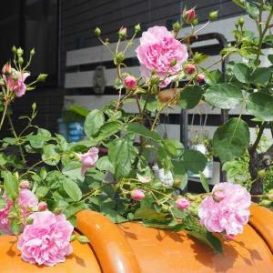 存在が薄くなった柴ワンコ やる気たっぷりザ・レディ・ガーデナー 挿し木っ子シーアネモネの開花♡