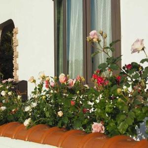 スペシャルなニンファ ドレスデン・ドールの開花♡ ビオラとペチュニアどちらも楽しもう^^
