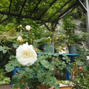 パーゴラ下の隠れ部屋 白薔薇の第一号はウィリアム&キャサリン♡ 大好きなヴァンサンカン^^
