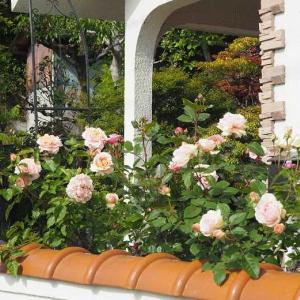 現代版ロゼット咲きブロドリー ザ・ウエッジウッド・ローズと、シャルム 紫陽花「空海」