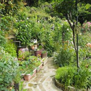 勢いよく水の落ちる甕の周りに誘引したファンタン・ラ・トゥール 変化の過程が美しい紫の園