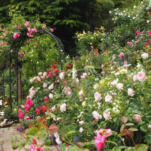 薔薇なのに普賢菩薩の微笑み 我が家のうどん粉女王はこの薔薇でした。。。