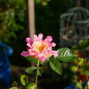 ピーチヒルの模様替え途中経過 いおり、あおいを移植 繊細な美しさキャロリーヌ・ドゥ・モナコ