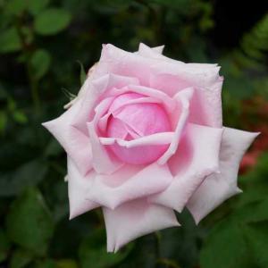 おばさんの心に染み渡る、ラ・フランスのピンク色♡ 草取りしてたら分からなくなる、今のピーチヒル^^