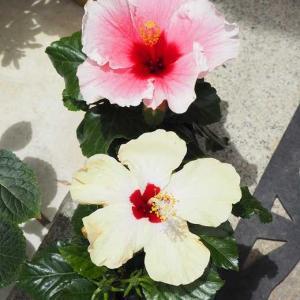 半額紫陽花と、連れて帰ったハイビスカス~♡ ボスコベルを抜いて、ジュリエットを植える