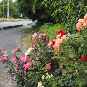 雨に負けないデルバールの薔薇 お花屋さんとローソンスイーツ♡