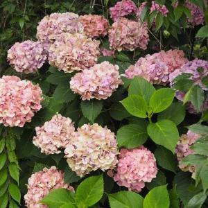 こんな「たまき」を始めて見ました 雨上がり夜のお散歩 深緑になった薔薇たち