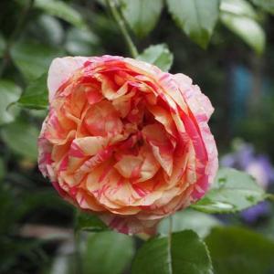 災害続きの梅雨末期に心が痛い 小雨の中、雨で溶けてドロドロになった薔薇を切る