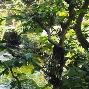 お休み前のクロード・モネ  セッコクと池の鯉♡