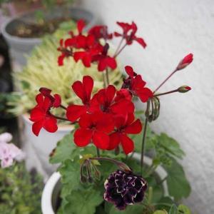 グラジオラスを窓辺に飾って♡ リ・パブリック・ドゥ・モンマルトルが咲く夏花壇 地震でグラグラ!