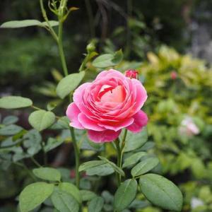 寝室に靴を。。。 最後の二番花と、夏のお花たち♡