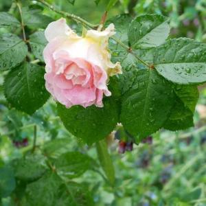 スターのカッコ良さ美しさを楽しんでいます♡ オベリスクに最高!ビサンテネール・ドゥ・ギヨー