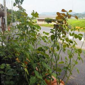 薔薇の葉が焦げて来たので、夕方シャワー始めました 真夏でもこの咲きっぷりリパブリック・ドゥ・モンマルトル♡