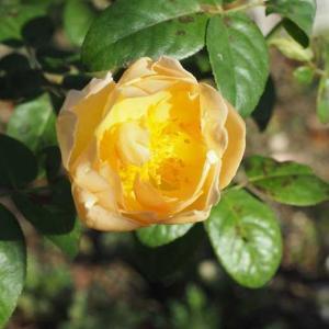 処分価格苗を花壇に植え込み~♡ コントゥ・ドゥ・シャンパーニュとソルベ・フランボワーズ