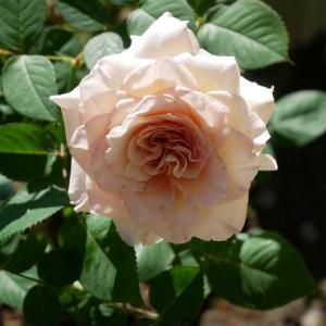 秋色に染まる薔薇が綺麗です クチュール・ローズ・チリアとキャラメル・アンティーク♡