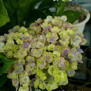 紫陽花はお花も素敵だけれど茎の色も神秘的