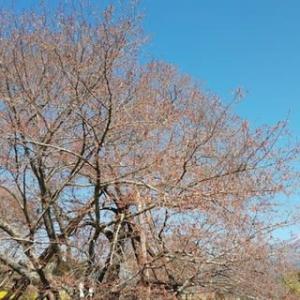 狩宿の下馬桜 (静岡県富士宮市) 開花までもう少し