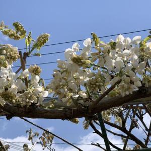 白藤の開花
