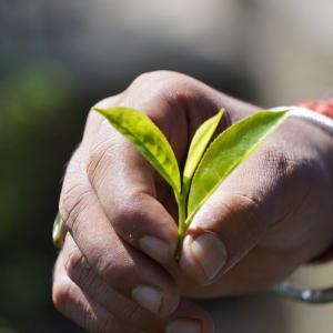 第3700篇:2019年インド紅茶紀行「ダージリンの紅茶園」(18)