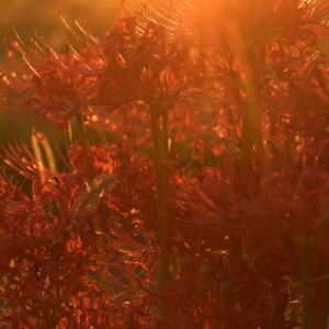 朝日に輝く紅白曼殊沙華