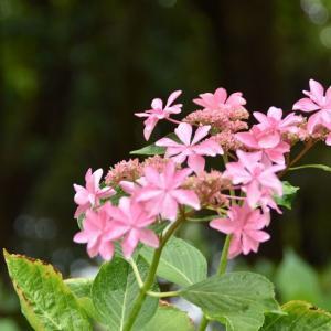 番の州公園の紫陽花