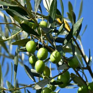園児のオリーブ収穫