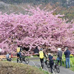三豊市吉津の一本桜