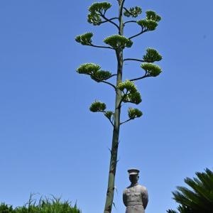 50年に一度しか開花しない龍舌蘭
