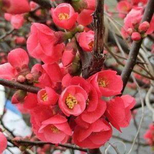 【花】木瓜咲くや漱石拙を守るべく