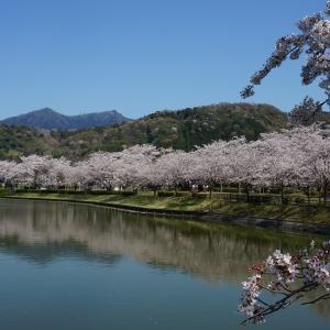 北条大池の桜が満開です。