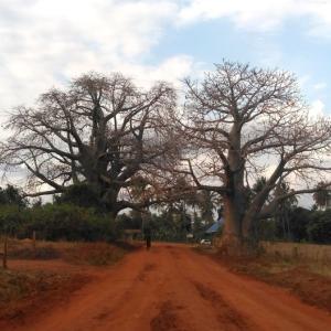 農村滞在キンゴルウィラ村その5☆バオバブ散歩☆『人々の交流と民族音楽』AT2019