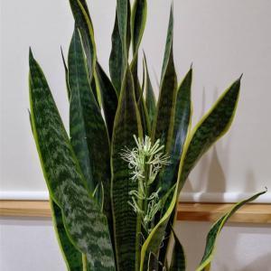 サンベリアの花