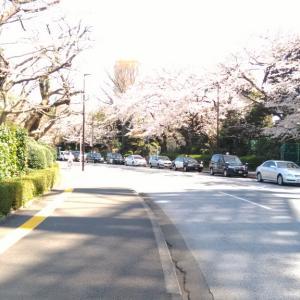 神宮外苑の桜