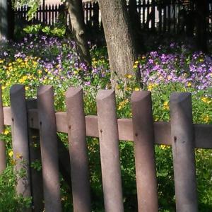 外苑 銀杏並木の菜の花