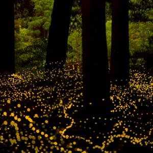 森の妖精(姫蛍)と戯れる