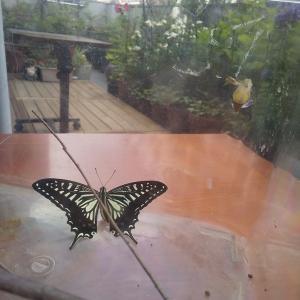 わが家生まれのアゲハチョウが飛び立ちました!
